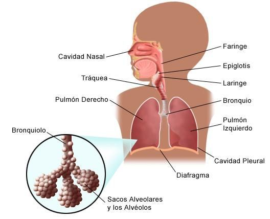 bronquiolos