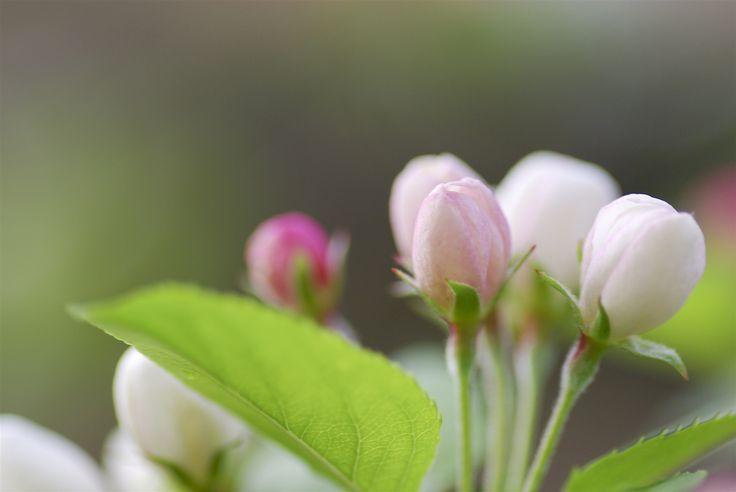 hojas manazano