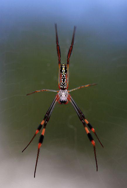 insecto araña